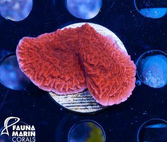 FMC Nanofrag Montipora red V7 – Bild 1