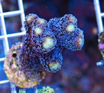 FMC Nanofrag Stylophora Milka V10 – Bild 1