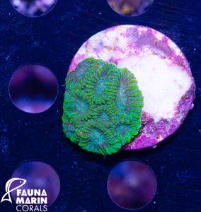 FMC Nanofrag Favia green V9 – Bild 1