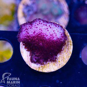 FMC  Stylophora pinky    V10