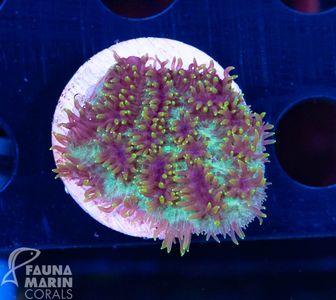 FMC  Hydnophora pilosa special rare V8