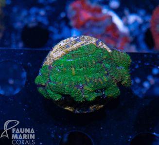 FMC  Nanofrag Acanthastrea green