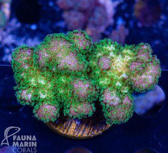 FMC Stylophora fiji