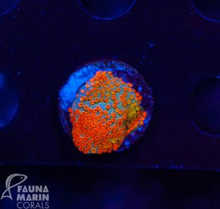 US Style Primefrags® Montipora  rainbow ultra  (Filter Shot!) – image 1