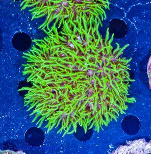 FMC Briareum super-green V5 – Bild 3