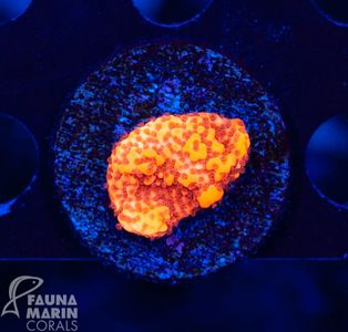 FMC Montipora Orange (Filter- + Daylight-Shot) – Bild 3