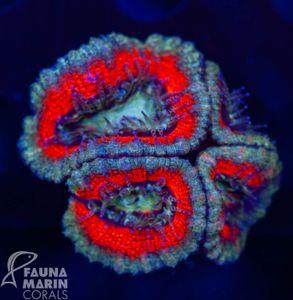 FMC Acanthastrea (Daylight- + Filtershot picture) – Bild 2