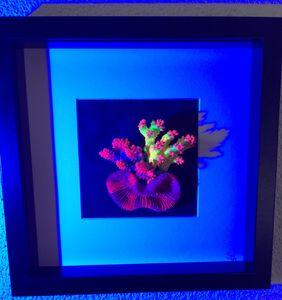 SIn Coral Art Nr. 10 Acropora mix – Bild 4
