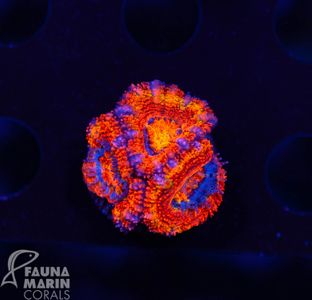 FMC Acanthastrea  (Filter- + Daylight-Shot picture!) – image 2