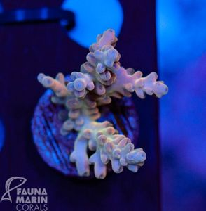 US Style Primefrags® Acropora microclados Hummingbird (Filter- + Daylight-Shot picture!) – Bild 1