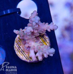 US Style Primefrags® Acropora microclados Hummingbird (Filter- + Daylight-Shot picture!) – Bild 2