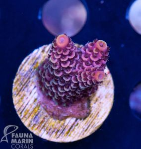 US Style Primefrags® Acropora spathulata  (Filter- + Daylight-Shot picture!) – Bild 2