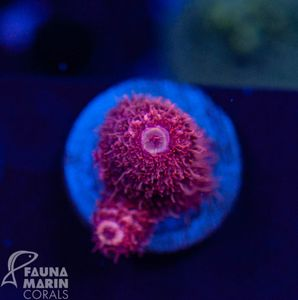 US Style Primefrags® Acropora spathulata  (Filter- + Daylight-Shot picture!) – Bild 1