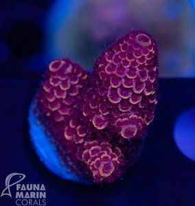 US Style Primefrags® Acropora spathulata purple (Filter- + Daylight-Shot picture!) – Bild 2