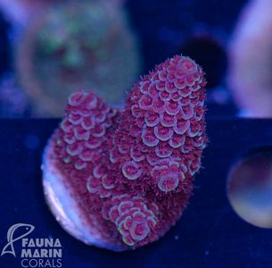 US Style Primefrags® Acropora spathulata purple (Filter- + Daylight-Shot picture!) – Bild 3
