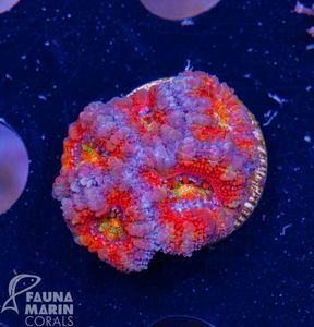FMC Acanthastrea Rainbow (Filter- + Daylight-Shot picture!) – image 1