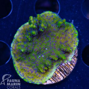 FMC Montipora  Blueberry Cheesecake  (Filter- + Daylight-Shot picture!) – Bild 2