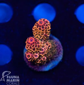 US Style Primefrags® Acropora spathulata Rainbow (Filter- + Daylight-Shot picture!) – Bild 1