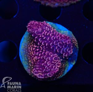 US Style Primefrags® Acropora spathulata Ring  (Filter- + Daylight-Shot picture!) – Bild 1