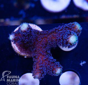 FMC Stylophora Milka V10 – image 1