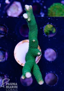 FMC Montipora digitata Green V7