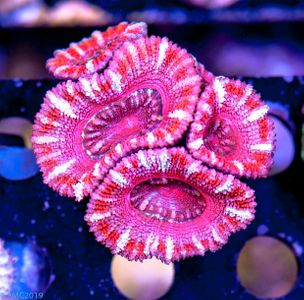 FMC Acanthastrea Red Marble (Filter- + Daylight-Shot picture!) – image 2