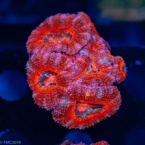 FMC Acanthastrea Red  (Filter- + Daylight-Shot picture!) – image 1