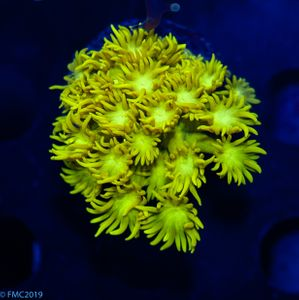 FMC Goniopora Yellowish (Filter- + Daylight-Shot!) V5 – image 1