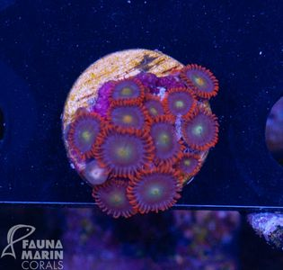 FMC Zoanthus punk rocker (Filter- + Daylight-Shot picture!) V5 – image 2