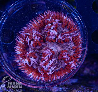 FMC  Phymanthus Candy Stripes - Perlenanemone (Filter- + Daylightshot picture!) – image 1