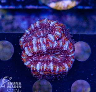 FMC Acanthastrea Salted caramel  (Filter- + Daylight-Shot picture!) – image 1