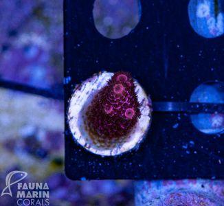 US Style Primefrags® Acropora millepora  (Filter- + Daylight-Shot picture!) – image 2