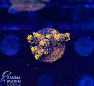US Style Primefrags® Acropora Pink Floyd  (Filter- + Daylight-Shot picture!) – image 1