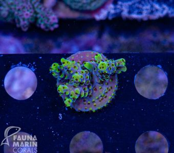 US Style Primefrags® Acropora Pink Floyd  (Filter- + Daylight-Shot picture!) – image 2