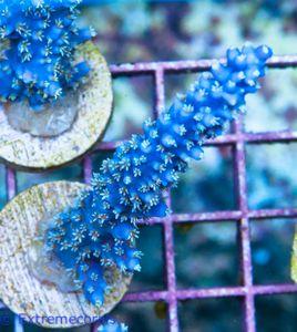 FMC Acropora horrida Whitepolyp  V – Bild 2