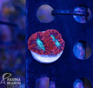 FMC LPS Box 22 pieces - mixed frags
