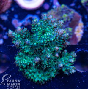 FMC Acropora The Green Grizzly (Filter- + Daylight-Shot picture!) – Bild 2