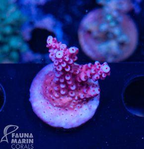 US Style Primefrags® Acropora super pink (Filter- + Daylight-Shot picture!) – Bild 2
