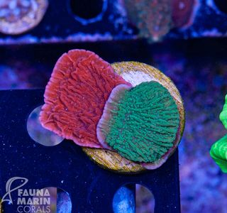 FMC Montipora red+green double V (Filter- + Daylight-Shot picture!) – Bild 1