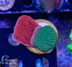 FMC Montipora red+green double V (Filter- + Daylight-Shot picture!) 001