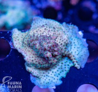 US Style Primefrags® Acropora (Filter- + Daylight-Shot picture!) – Bild 2