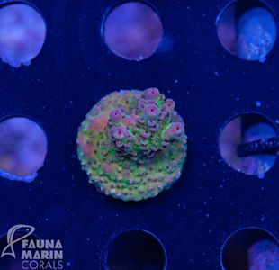 US Style Primefrags® Acropora The Marsian (Filter- + Daylight-Shot picture!) – Bild 2