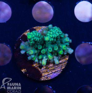FMC Acropora latistella (Daylight + Filtershot!) – image 1