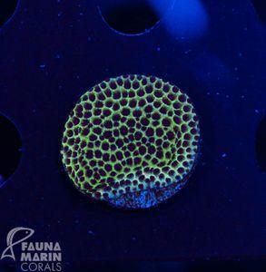 FMC Porites V (Filter- + Daylight-Shot picture!) – image 2