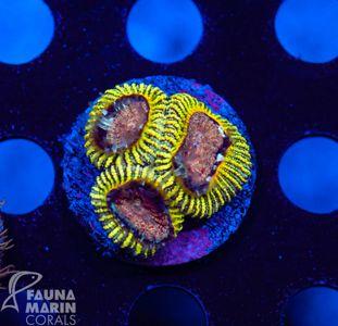 FMC Favia (Filter- + Daylight-Shot picture!)  V – image 1