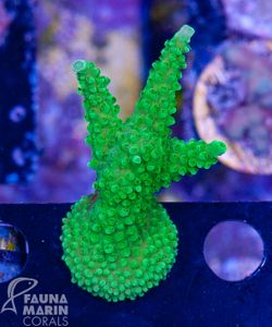 FMC Acropora green Stag V  (Daylight- + Filtershot picture) – Bild 2