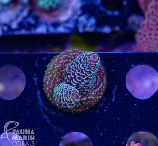 US Style Primefrags® Acropora spathulata The Ring  (Filter- + Daylight-Shot picture!) – image 2