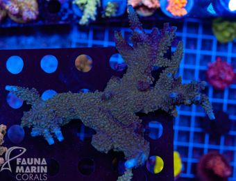 FMC Acropora staghorn XL (Filter- + Daylight-Shot picture!) – image 2