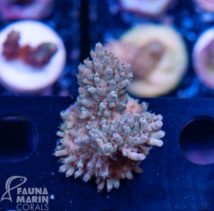 US Style Primefrags® Acropora (Filter- + Daylight-Shot picture!) – image 2