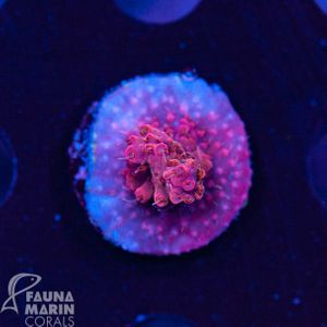 US Style Primefrags® Acropora microclados  (Filter- + Daylight-Shot picture!) – image 1